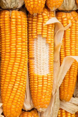 flint: Dried flint corn or maize background in farm