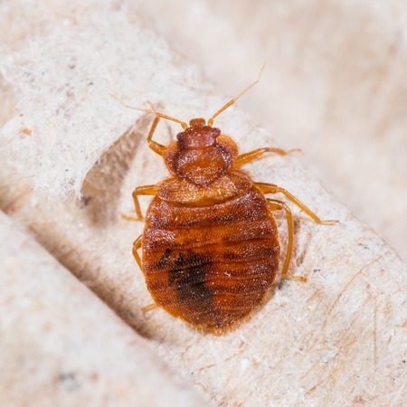 Close up adult cimex lectularius on corrugated recycled paper, or bedbug blood sucker