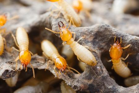 흰개미 또는 흰색 개미를 닫습니다 스톡 콘텐츠