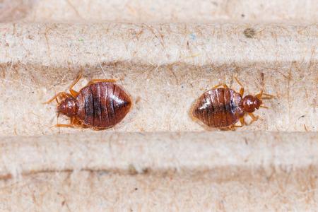 bedbug: Close up adult cimex hemipterus on corrugated recycled paper