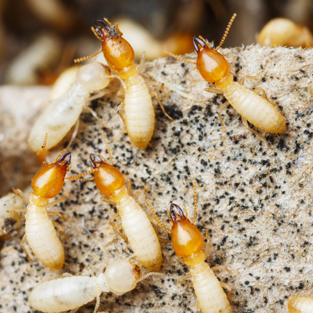 protozoa: Close up termites or white ants Stock Photo