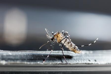 albopictus: Close up newborn aedes albopictus mosquito, pest animal, contagion Stock Photo