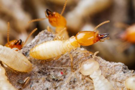 폐쇄 흰개미 또는 흰 개미 파괴
