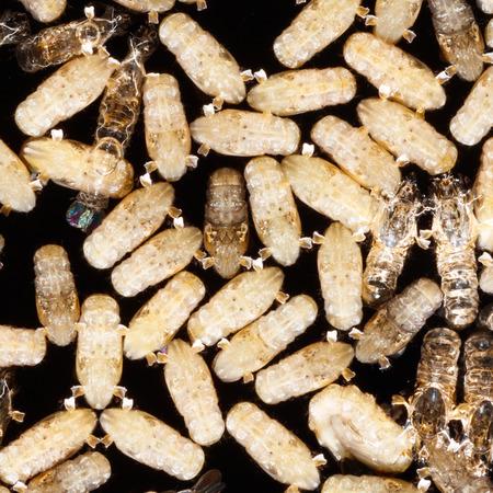 albopictus: Close up anopheles dirus mosquito pupae, pest animal, contagion