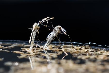 albopictus: Close up newborn anopheles dirus mosquito, pest animal, contagion Stock Photo
