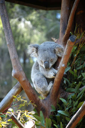 Sleepy Koala in a tree photo