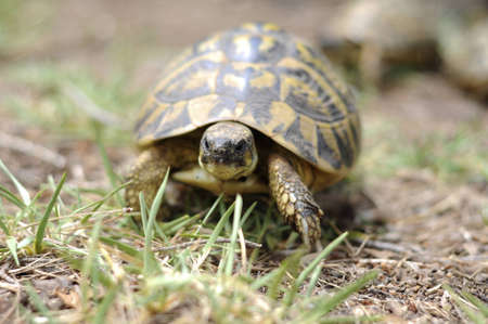 land shell: A tortoise walking through some tall grass