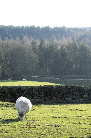 White fluffy sheep in a beautiful British Countryside field eating grass with trees in the background photo