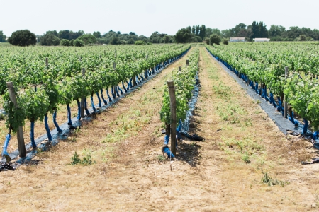 Rows of Grape Plants in a Wine Vineyard in the South of France Stock Photo
