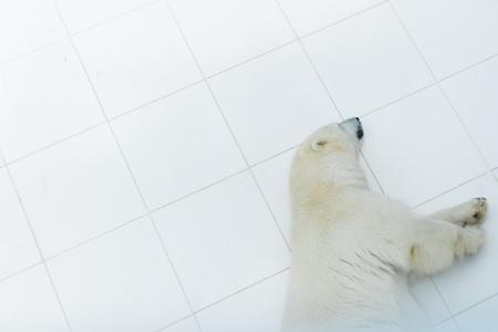 bear paw: polar bear sleeping in zoo, France Stock Photo