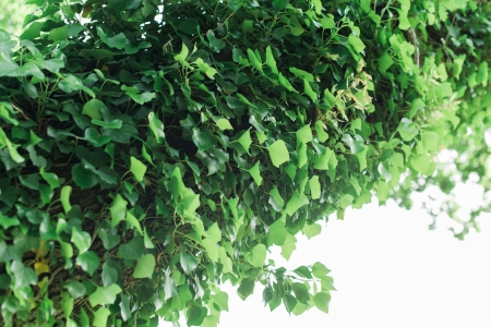 sun drenched: Ivy covered trunk or branch of tree in a sun drenched forest