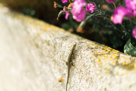lacertidae: Lizard Climbing Up a moss covered Wall