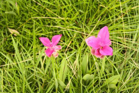 Siam Tulip, Thailand photo