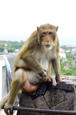 macaque: Macaque mongkey