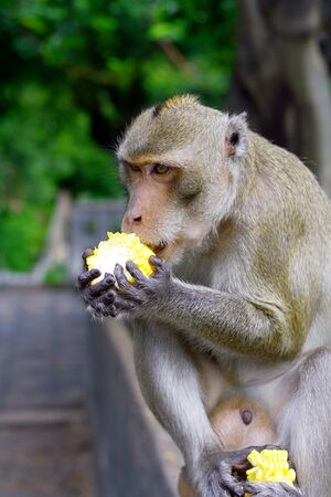 monkey eat fruit in Thai Stock Photo - 10451319