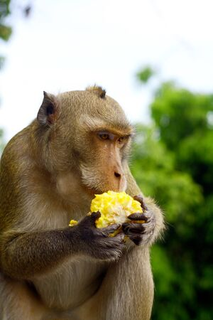 monkey eat fruit in Thai