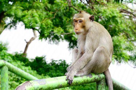 Macaque mongkey Stock Photo - 10579483