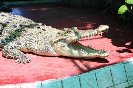 crocodile  Stock Photo - 10544181