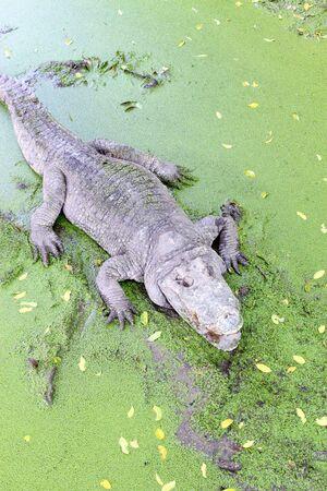 basking: Crocodils