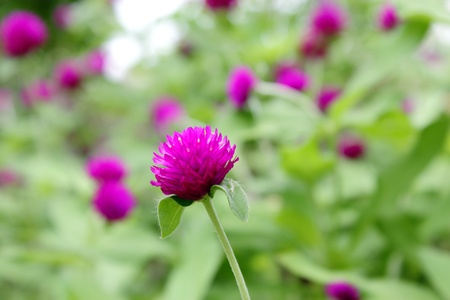 Beautiful purple flowers , Globe Amaranth Stock Photo - 12755463