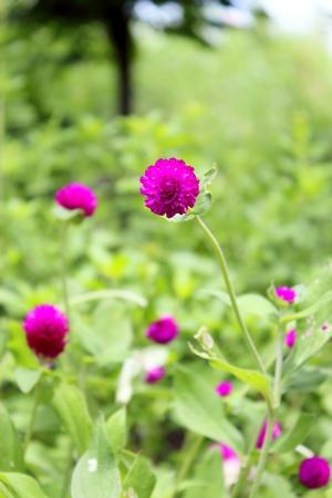 Beautiful purple flowers , Globe Amaranth Stock Photo - 12755544