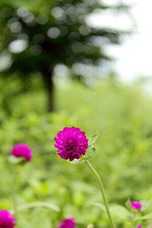 Beautiful purple flowers , Globe Amaranth photo