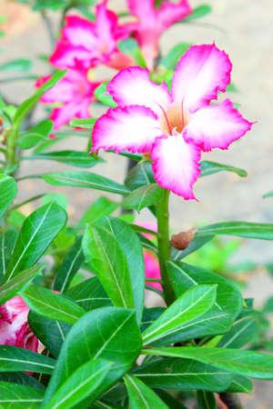 adenium: Impala Lily Adenium