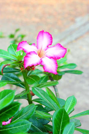 Impala Lily Adenium Stock Photo - 13340791