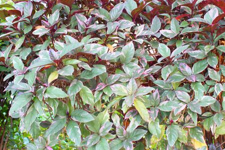 Pseuderanthemum atropurpureum  Stock Photo - 13230690