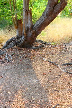 tree with roots photo