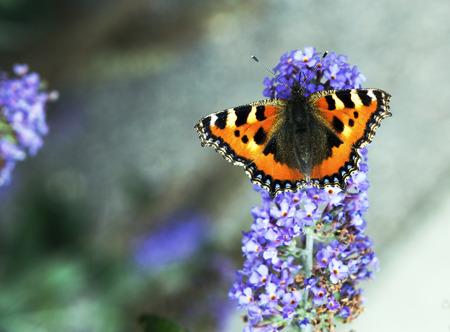 tortoiseshell: Tortoiseshell butterfly