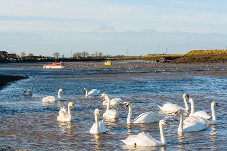 Twelve swans at Hullbridge Stock Photo