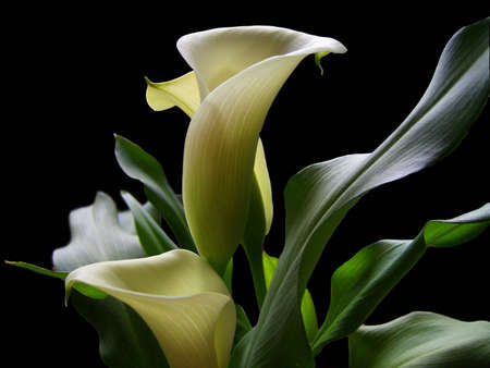 calla lily: Elegant calla lilies in a soft light against a deep black background.