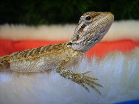 christmas dragon: A baby bearded dragon sitting on a Christmas hat. Stock Photo