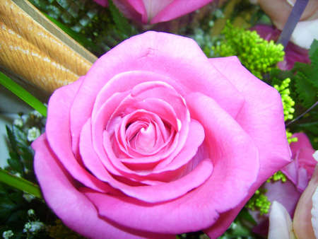 A vivid pink rose and flora.