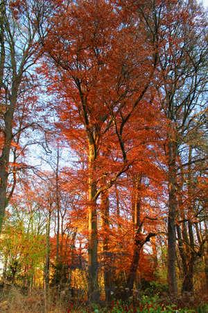 beatiful: Beatiful Red Trees Stock Photo