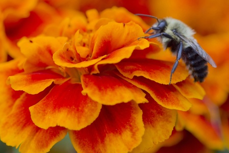 Macro close up of bee on a flower photo