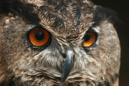 OWL EYES Stock Photo