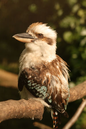 KOOKABURRA PERCHING