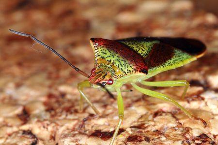 Shield bug Stock Photo