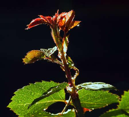 Rose shoot Stock Photo - 1780705