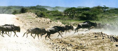 running wildebeast
