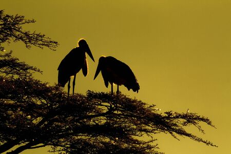 Silhouette of marabou storks ( Leptoptilos crumeniferus )