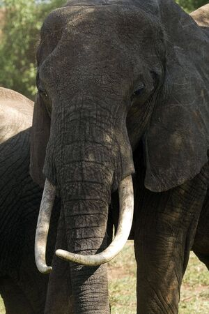 African Tusker Stock Photo