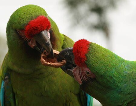 Military Macaws fighting over a walnut