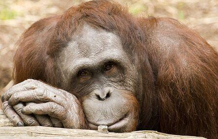 Portrait of orang utan