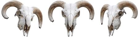 macho cabrio: El esqueleto, las ovejas s cabeza con cuernos