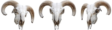 dead animal: The skeleton, sheep s head with horns Stock Photo
