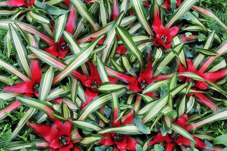 Red flowers cryptanthus beautiful green leaves