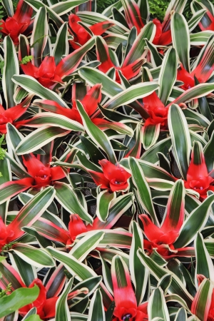aechmea: Red flowers cryptanthus beautiful green leaves